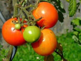Tomates de fin de saison