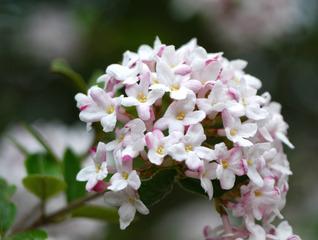 Viorne de Burkwood - Fleurs