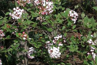 Viburnum x burkwoodii 'Mohawk'
