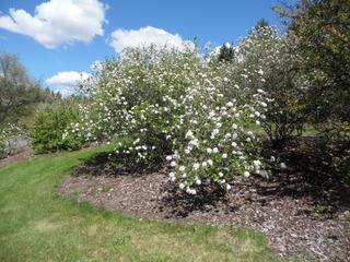 Viburnum x burkwoodii, Viorne de Burkwood