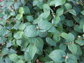 Viorne de Burkwood - Feuillage