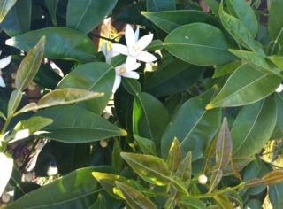 Fleurs de yuzu
