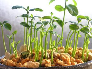 Semis de pépins de yuzu