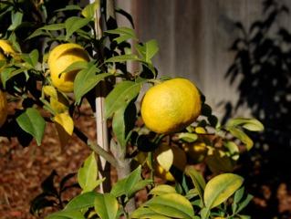 Yuzu (Citrus juno)