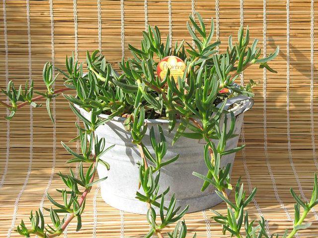 Griffe de sorci re carpobrotus culture for Plante 5 doigts bahamas
