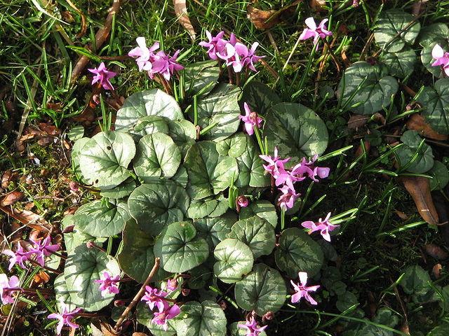 Cyclamen coum : plantation, culture en pot et au jardin