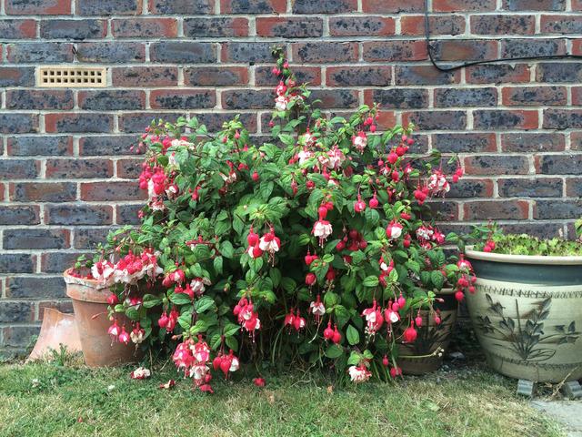 Arbuste fleurs fushia - Fushia plante entretien ...