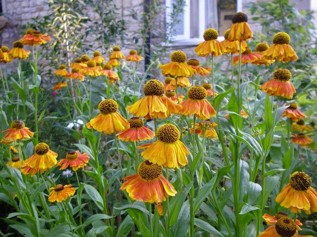 Hélénie : semis, culture et variétés