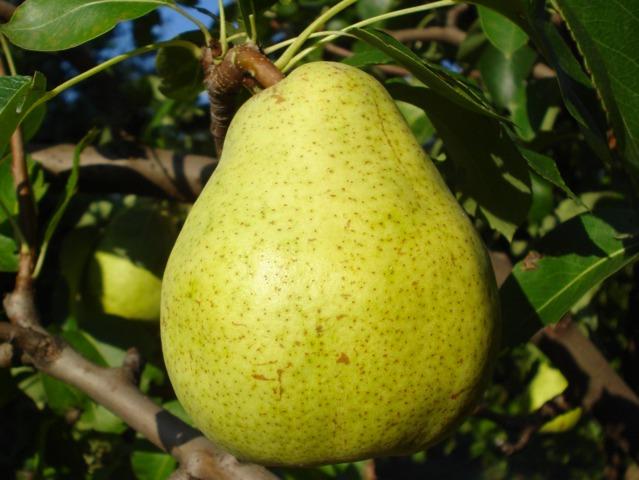 Les problèmes du poirier - maladies, fruits