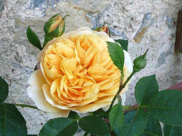 Les rosiers anglais : atouts, variétés
