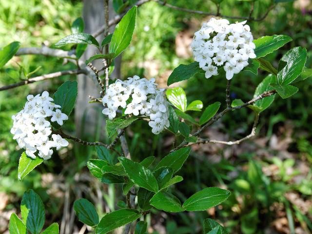 Viorne de Burkwood, Viburnum x burkwoodii : plantation, culture