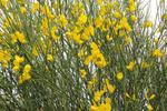 Genêt d'Espagne, Spartium