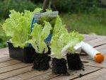 Planter les salades en mottes
