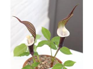 Arisaema sikokianum en pot