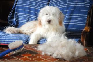 Brossage d'un chien - Chute de poils