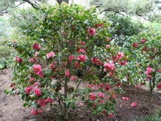 Camélia (Camellia japonica 'Mrs David Reed')