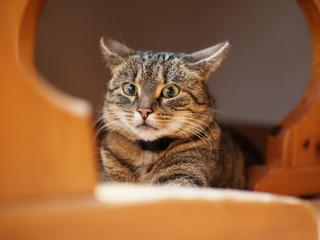 Chat effrayé (oreilles couchées, pupilles dilatées)