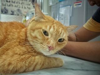 Vaccin chez un chat adulte