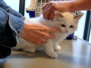 Vaccination d'un chaton