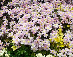 Clematis montana, clématite à petites fleurs