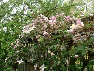 Clematis montana grimpant sur une clôture