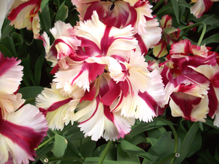 tulipes les diff rentes formes de fleurs. Black Bedroom Furniture Sets. Home Design Ideas