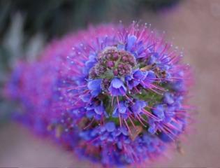 Echium candicans - Détail des fleurs