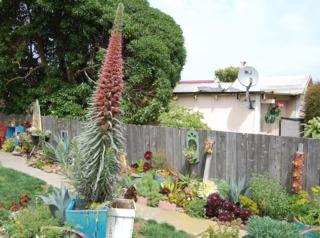 Echium wildpretii 'Tower of Jewels'