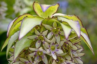 Eucomis bicolor - Fleur