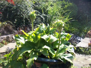 Eucomis bicolor en pot