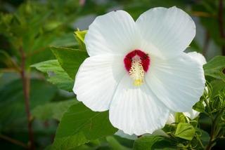 Hibiscus des marais - variété blanche