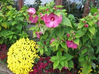 Hibiscus des marais (Hibiscus moscheutos)