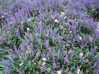 Liriope muscari : un tapis dense et fleuri