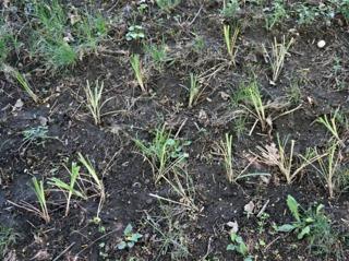 Liriopes récemment plantées