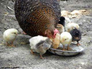 Poules : évitez les mangeoires posées au sol