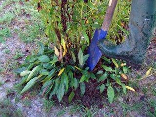 Division des plantes : arbustes, vivaces, bulbes, graminées