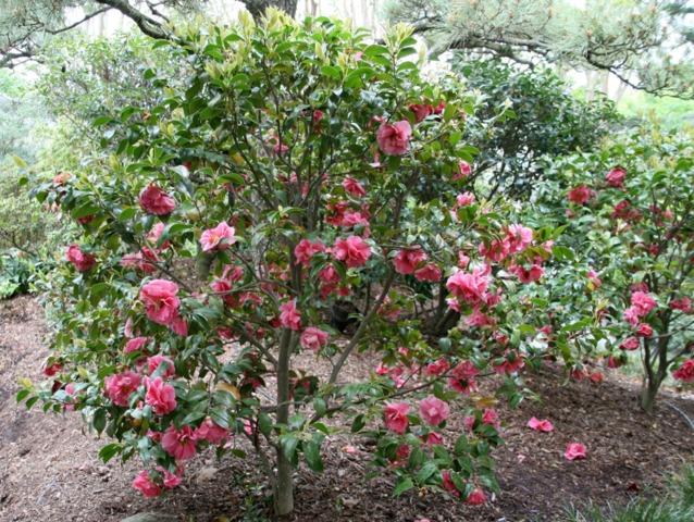 cam lia des arbustes incontournable pour fleurir l 39 hiver