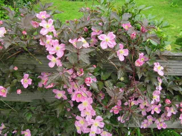Clématite : plantation, culture, espèces et variétés
