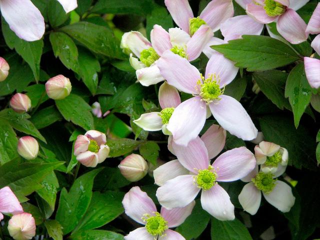 La taille des cl matites petites fleurs - Taille des lauriers fleurs ...