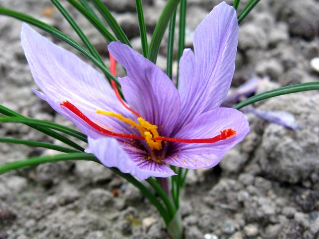 Crocus sativus : cultivez votre safran