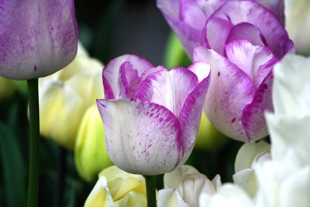 Tulipe blanche mouchetée de rose (Tulipes : des fleurs pleines de fantaisie)