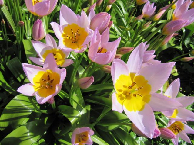 Tulipe botanique (Tulipa saxatilis) (Tulipes : des fleurs pleines de fantaisie)