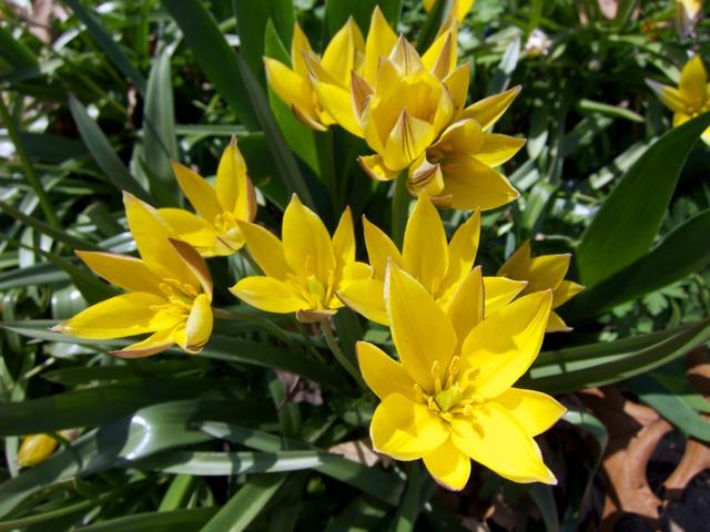 Tulipe botanique, Tulipa urumiensis (Tulipes : des fleurs pleines de fantaisie)