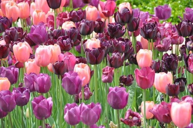 Tulipes en camaieu de rose et pourpre (Tulipes : des fleurs pleines de fantaisie)