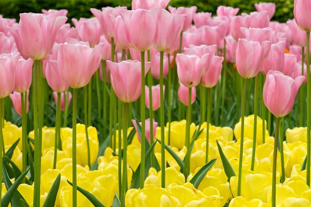 Tulipes : variétés haute et basse (Tulipes : des fleurs pleines de fantaisie)