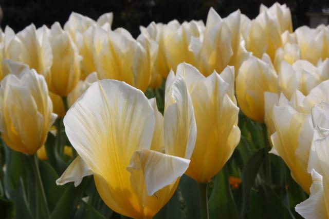Tulipes jaunes et blanches (Tulipes : des fleurs pleines de fantaisie)