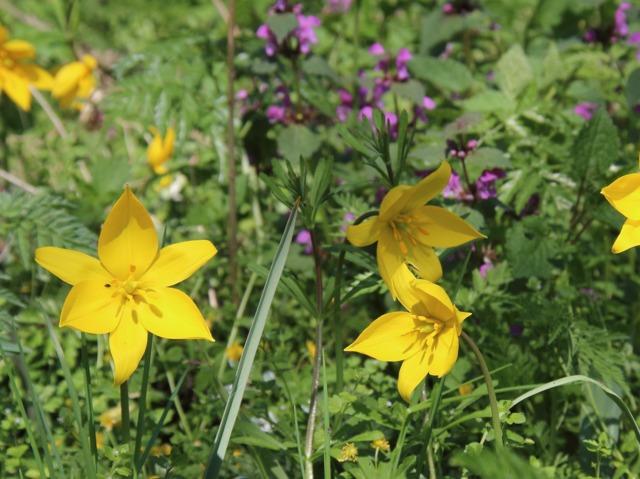Tulipe sauvage (Tulipa sylvestris) (Tulipes : des fleurs pleines de fantaisie)