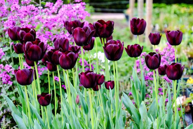 Tulipes violet foncé (Tulipes : des fleurs pleines de fantaisie)