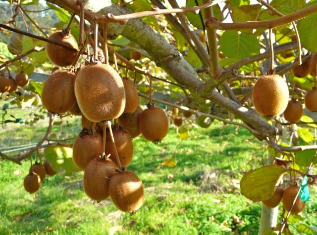 Kiwis : quand et comment récolter, conservation