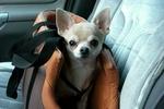 Votre chien a peur en voiture